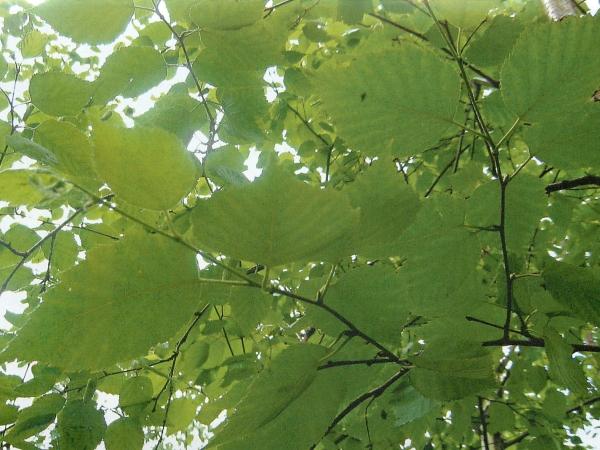 зелёные русалии